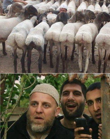 sexy sheep