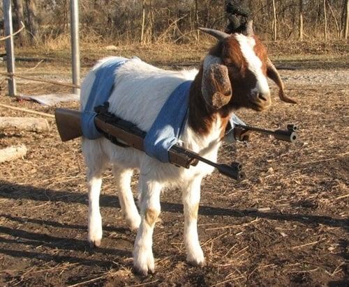 War Goat